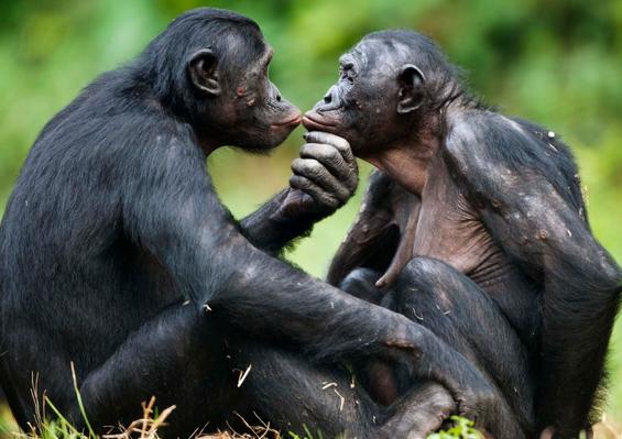 Los bonobos y el sexo